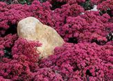 Stone Crop